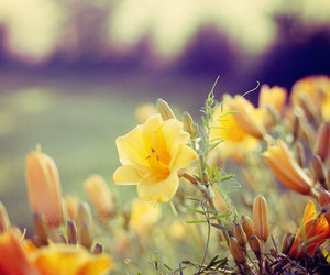 Daylily, flowers, and nature image