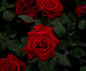 red, rose, and beautiful image