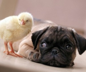 animal, dog, and Chick image