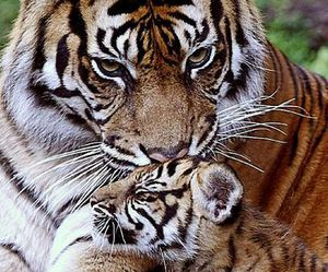 tiger, baby, and cub image
