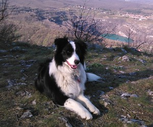 border, collie, and Zara image