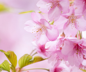 beautiful, blossom, and cherry image