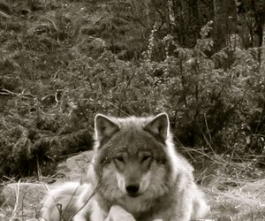 forest, norge, and wolf image