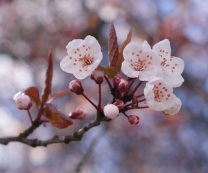 chery blossom image