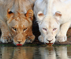 animal, lion, and white image
