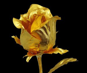golden rose image