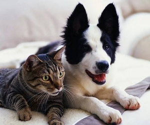 border collie, cat, and love them image
