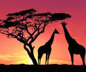 giraffe, sunset, and animal image