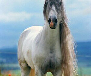 horses, stallions, and grey horses image