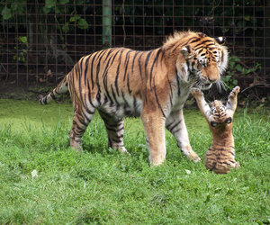 cute, tiger, and baby image