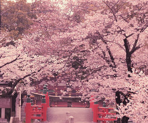 japan, sakura, and beautiful image