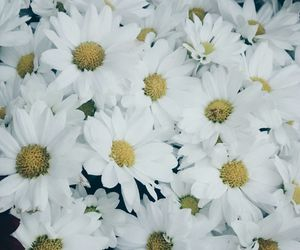 flower, wallpaper, and daisy image