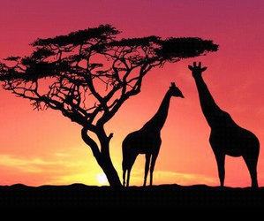 giraffe, sunset, and africa image