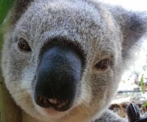 Koala image