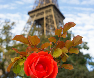 eiffel tower, france, and red flower image
