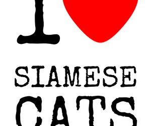 cat, siamese, and love image