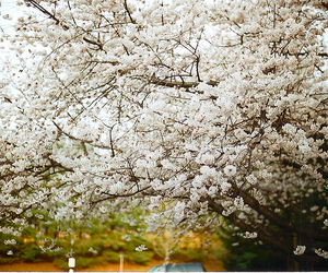 cherry blossom, flowers, and cherry blossoms image
