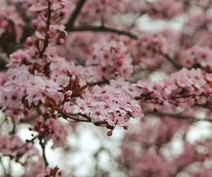 blossom, canon, and cherry tree image