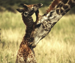 animal, giraffe, and nature image