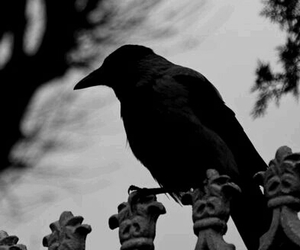 black and white, crow, and bird image