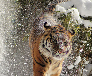 snow, animal, and tiger image