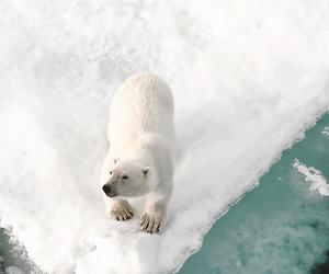 animal, white, and bear image