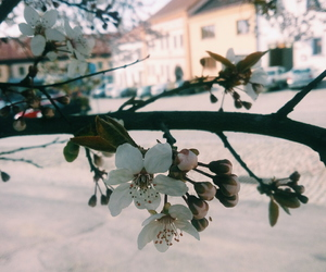 cherry, flower, and spring image
