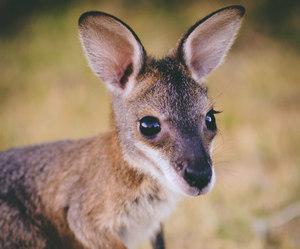 cute, animal, and kangaroo image