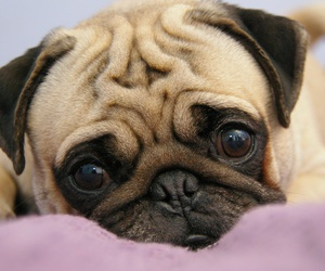 pug, dog, and cute image