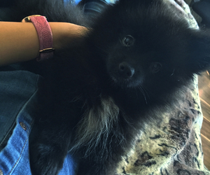 baby, black, and pomeranian image