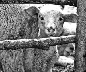 black and white, lamb, and cute image