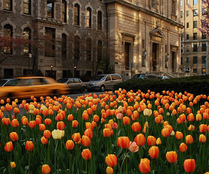 flowers, tulips, and city image