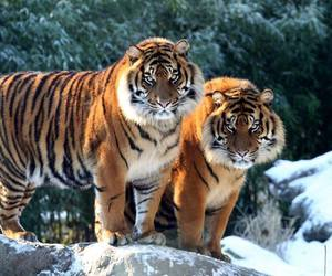 big cats, cute animals, and tigers image