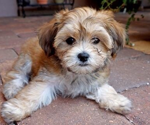 havanese and poky image