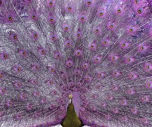 peacock, purple, and animal image