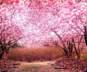 cherry, photography, and pink image