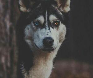 dog, animal, and wolf image