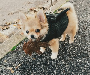 autumn, chihuahua, and dog image