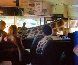 animals, giraffe, and photography image