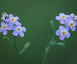 flowers, forget me not, and green image