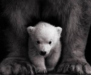bear, cute, and Polar Bear image