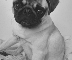 black and white, puppy, and pug image