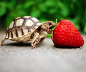 strawberry, sweet, and tortoise image