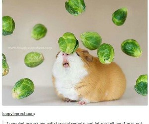 funny, guinea pig, and tumblr image