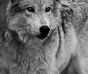 animal, beautiful, and wolf image