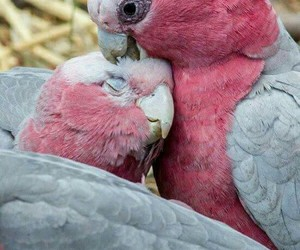 parrot, love, and bird image