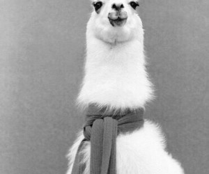 llama, lama, and scarf image