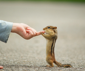 animal, cute, and chipmunk image