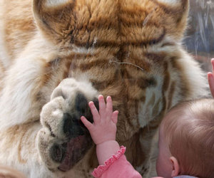 tiger, love, and baby image