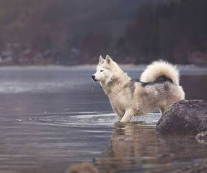 dog, husky, and nature image